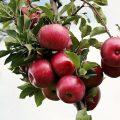 crumble aux pommes le fruit