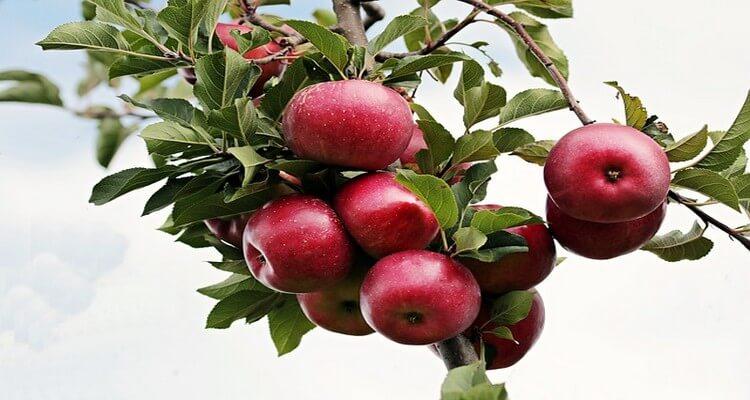 crumble aux pommes, le fruit