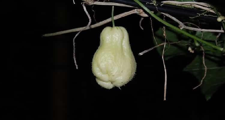 Daube chouchou-le fruit