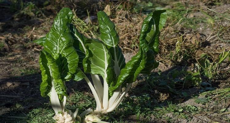 fricassée de blettes, le légume