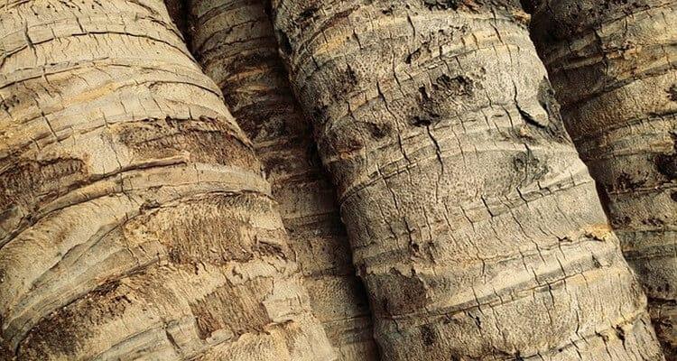 palmiste troncs
