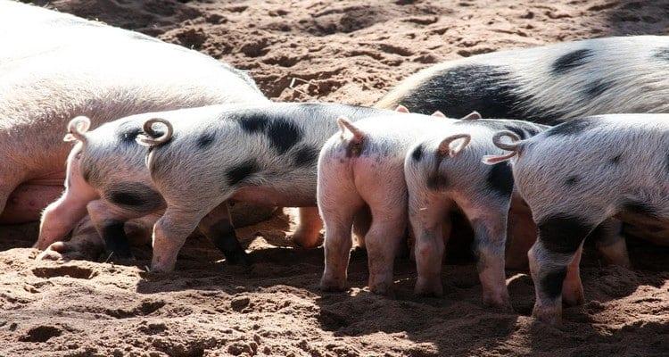 queues de porc a la vapeur