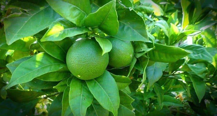 rhum citron vert