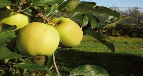 tarte aux pommes facile du limousin