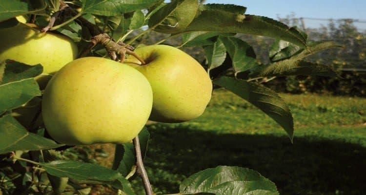 tarte aux pommes spéciale du limousin
