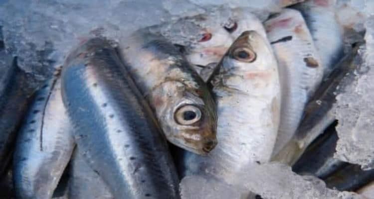 Sardines farcies bac