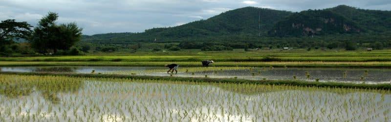 riz cantonnais riziere