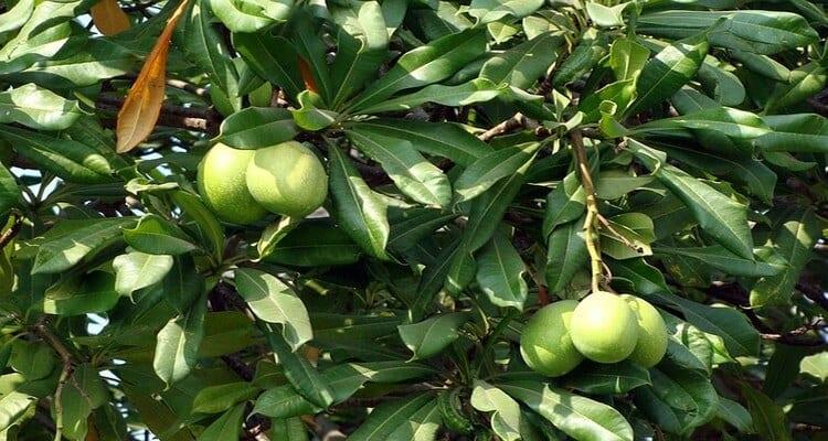 cuisine malgache, la mangue