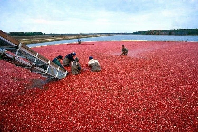 La canneberge aussi appelée cranberry est riche en vitamines C et D mais aussi en antioxidants, en tanins, flavonoïdes qui combattent le vieillissement prématuré.