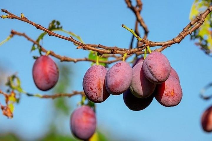 Arbre fruitier - Taille