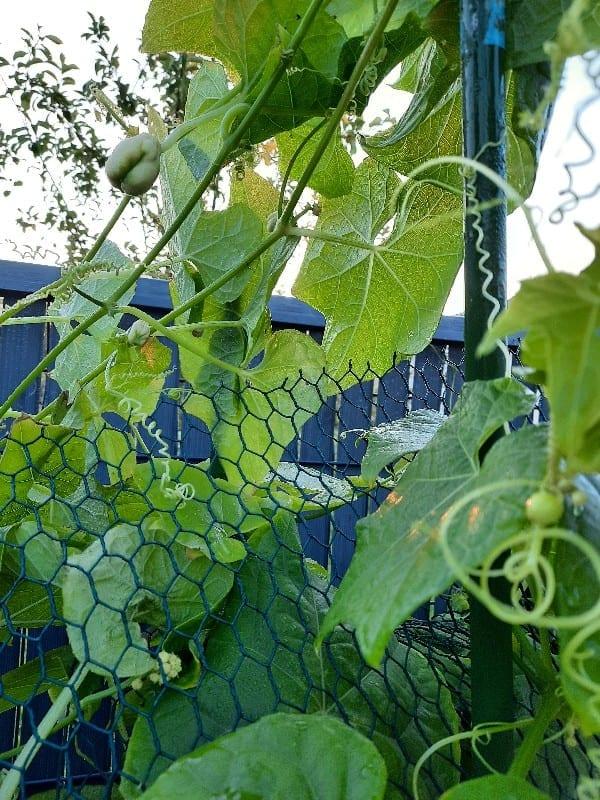 Feuille - Produire - chouchou fruit