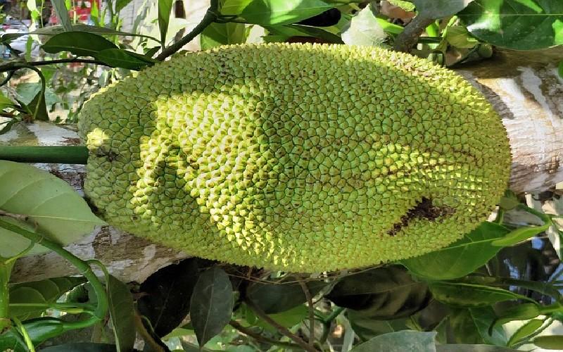Marang - Fruit à pain
