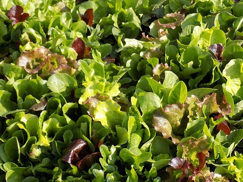 salade - Légume-feuille - salade de chèvre chaud